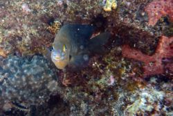 damselfish face 2