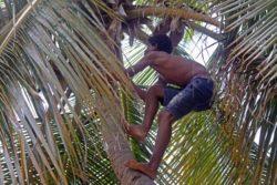 ezius coconut palm