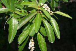 fiddlewood flower