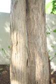 fiddlewood trunk