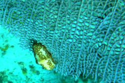 flamingo tongue