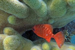 glasseye snapper and pillar coral