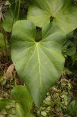heartleaf anthurium