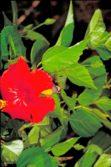 hummingbird and hibiscus copy