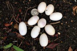 iguana eggs