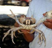 land crab main