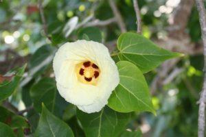 maho flower