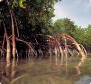 mangrove main