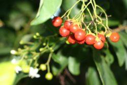 Manjack berries