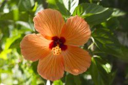orange hubiscus