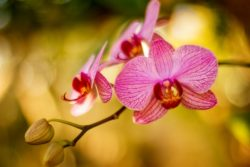 orchid mampoo