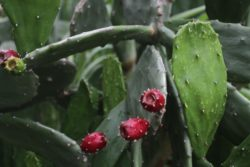 paddle cactus berry