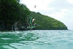 St. John pelican