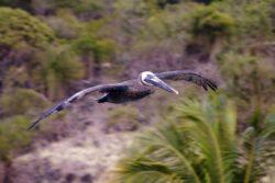 St. John Birds pelican