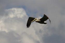 St. John US Birds pelican