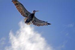St. John USVI pelican