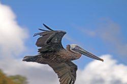 St. John US pelican
