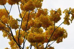 poui flower