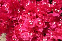 red bouganvilla