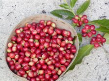 ripe St. John coffee berries