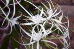 spider lilly flower