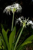 spider lilly plant