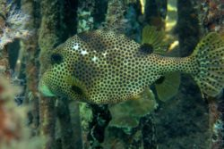 Spotted Trunkfish 2