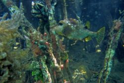 Spotted Trunkfish 3