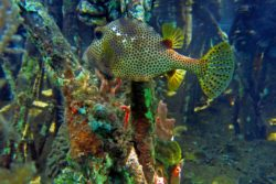 Spotted Trunkfish 4