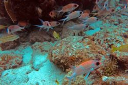 Squirrelfish school