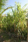 sugar cane Annaberg