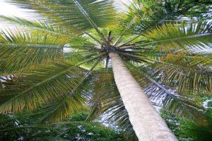 Trunk Bay palm St. John