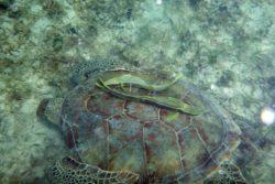 turtle remora