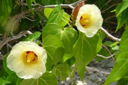 two maho flowers
