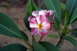 varigated exotic frangipani