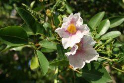 White cedar flower