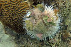 white urchin 2