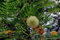wild tamarind flower